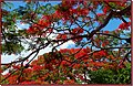 Flamboyant - panoramio - patano.jpg