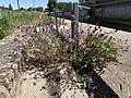 Fleurs près Menthon Route Bourg St Cyr Menthon 1.jpg
