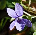 Flickr - Laenulfean - violet.jpg
