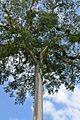 Flickr - ggallice - Kapok tree climber.jpg