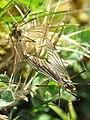 Flies. Ordes, Galiza.jpg