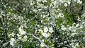 Flor de Prunus cerasus en Tejeda 02.jpg