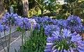 Flor de l'amor (Agapanthus africanus), jardí botànic de València.JPG
