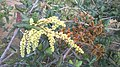 Flor e Fruto de uma Planta Nativa da Mata Cipó-Ba.jpg