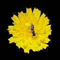 Flor e insecto en Valverde. Vilarromarís. Oroso-x6.jpg