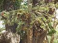 Flora of Tanzania 2447 Nevit.jpg