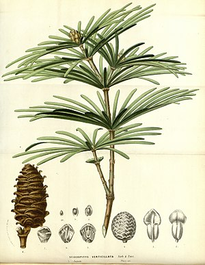 "Sciadopitys - Sciadopitys verticillata from ""Flore des serres et des jardins de l'Europe"""