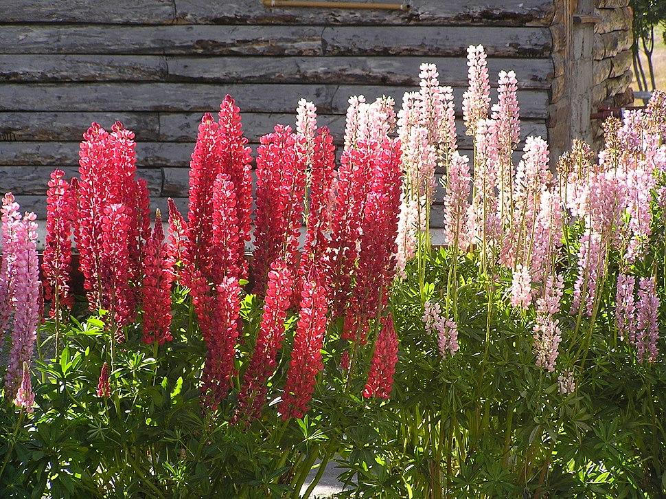 Flores de lupino (Ushuaia)