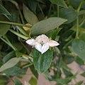 Flores de oreja de gato (Tradescantia fluminensis).jpg