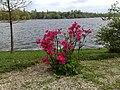 Flori roz in si lacul Herastrau.jpg