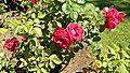 Floribunda - Carrousel 6 (cr).JPG
