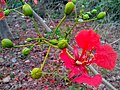Forest flame(Delonix regia) 03.jpg