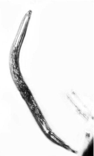 2011 in paleontology - Formicodiplogaster myrmenema