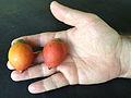Foxtail Palm fruits.JPG