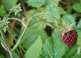 Musk strawberry - Image: Fragaria moschata detail