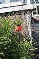 Fritillaria imperialis Keisarinpikarililja IM7458 C.JPG