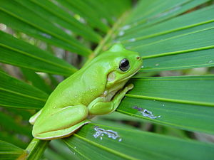 English: A green frog on a palm frond.