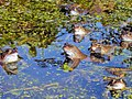 Frogs in our pond - 2 - geograph.org.uk - 1765524.jpg