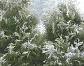 Frost on white cedar in fog 2.jpg