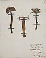 Fungi agaricus seriesI 012.jpg