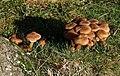 Fungi near the East Dart - geograph.org.uk - 1589850.jpg