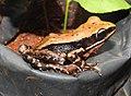 Fungoid Frog Hylarana malabarica by Dr. Raju Kasambe DSCN6578 (3).jpg