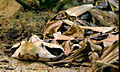 Gaboon viper head-on.jpg
