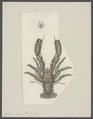 Galathea strigosa - - Print - Iconographia Zoologica - Special Collections University of Amsterdam - UBAINV0274 096 14 0002.tif