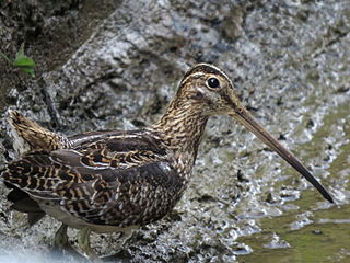 Noble snipe Species of bird