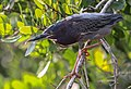 Garceta verde - Butorides virescens - Green heron.jpg