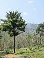 Garcinia gummi-gutta at Aanakkulam.jpg