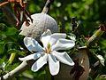 Gardenia thunbergia (3516059620).jpg