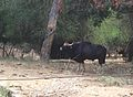 Gaur at Vandaloor.jpg