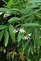Geitonoplesium cymosum kz01.jpg