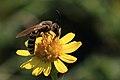 Gelbbindige Furchenbiene Halictus scabiosae 4958 B.jpg