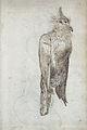 Gelderland1601-1603 Alectroenas nitidissima1.jpg