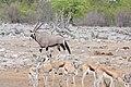 Gemsbok (Oryx gazella) (8603226983).jpg