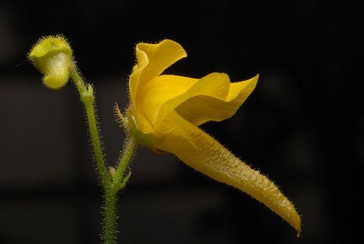 Genlisea aurea flower Darwiniana