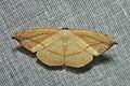 Geometridae (15876971495).jpg