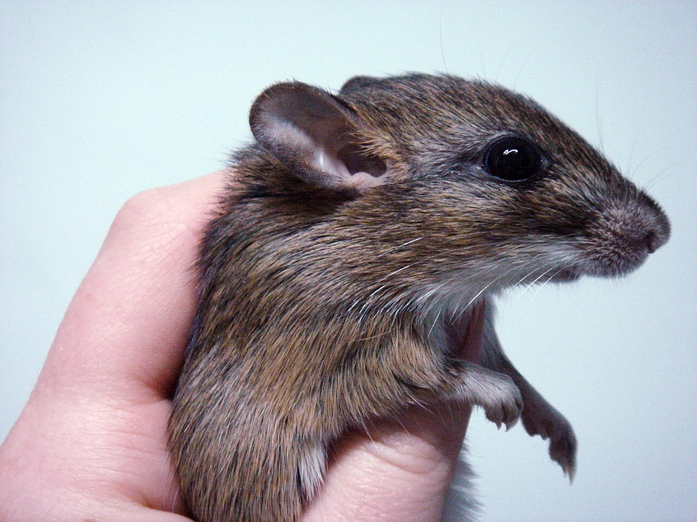 The average litter size of a Kemp's gerbil is 3