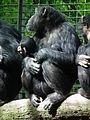 Geschütztes Jungtier Schimpanse 2013 Leintalzoo.JPG