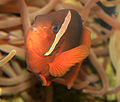 Gfp-clownfish.jpg