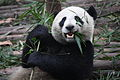 Giant Panda Eating.jpg