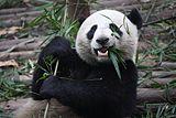 Giant Panda Eating.jpg