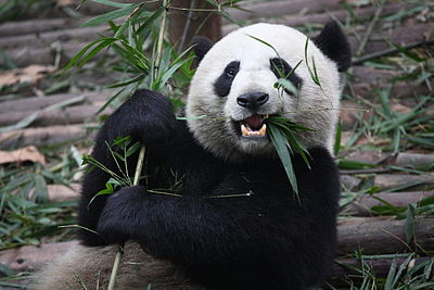 A giant panda, China's most famous endangered and endemic species, at the Chengdu Research Base of Giant Panda Breeding in Sichuan Giant Panda Eating.jpg