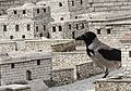 Giant crow terrorizing ancient Jerusalem! (13931908473).jpg