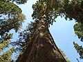 Giant sequoia (sequoiadendron giganteum).jpg