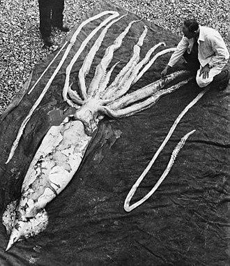 Deep-sea gigantism - Image: Giant squid Ranheim 2