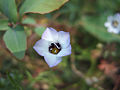 Gilia tricolor.jpg