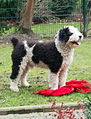 Gino2spanish waterdog.jpg